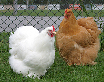 Two cochin hens showing the round shape they are famous for.  They belong to Tom Roebuck.