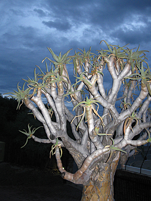 Euphorbia plant in Windhoek, Namibia.   It's is primarily found in the tropical regions of Africa.